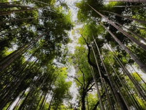 Sagano Bamboo Grove & Arashiyama Walking Tour